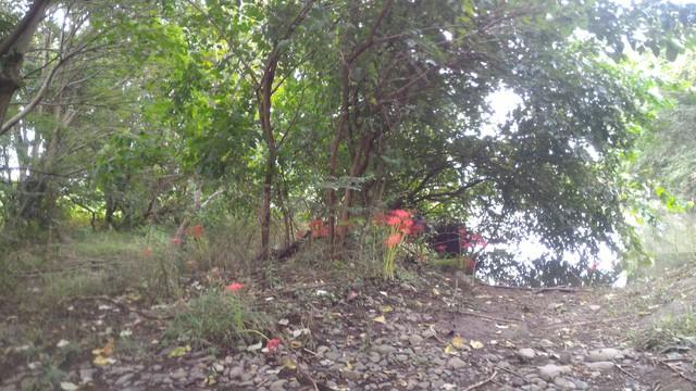 猿ヶ島辺りの相模川の溜まり(磯部の堰)の彼岸花