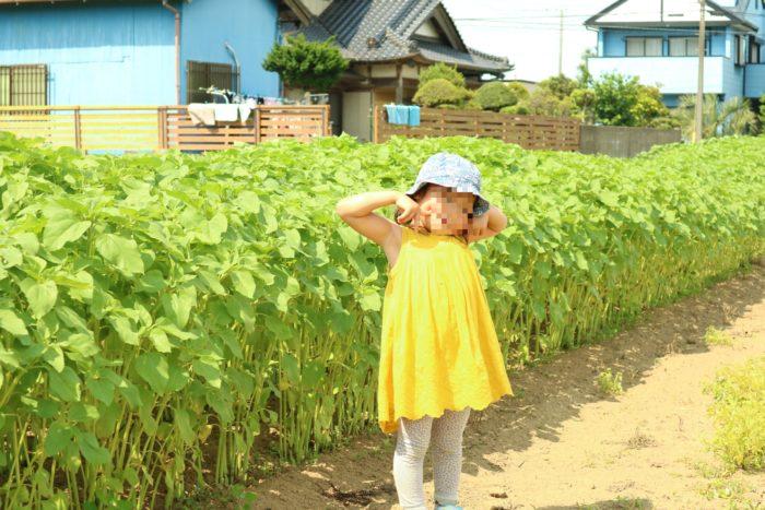 苺用肥料のひまわり