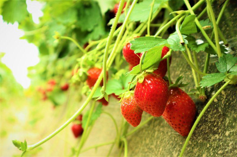 2017年6月、実家の銚子でいちご狩りの苺