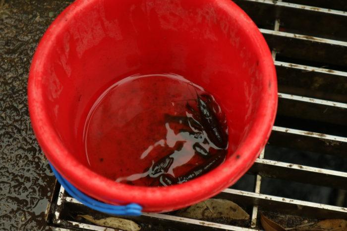谷戸山公園に湿生生態園でザリガニ取りの結果、取れたザリガニ