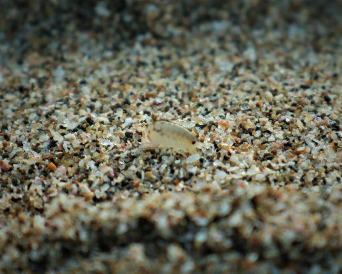 海開き前の守谷海水浴場のハマトビムシ