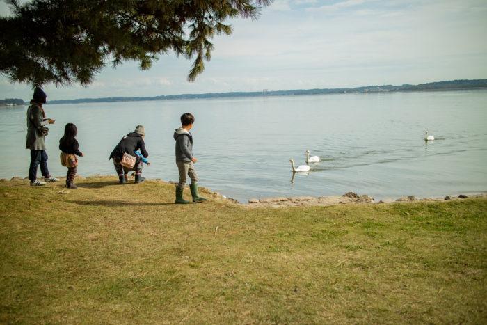 親沢公園キャンプ場で涸沼に居る白鳥と遊ぶ