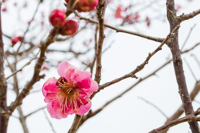 蔓巻公園オートキャンプ場に咲く梅の花