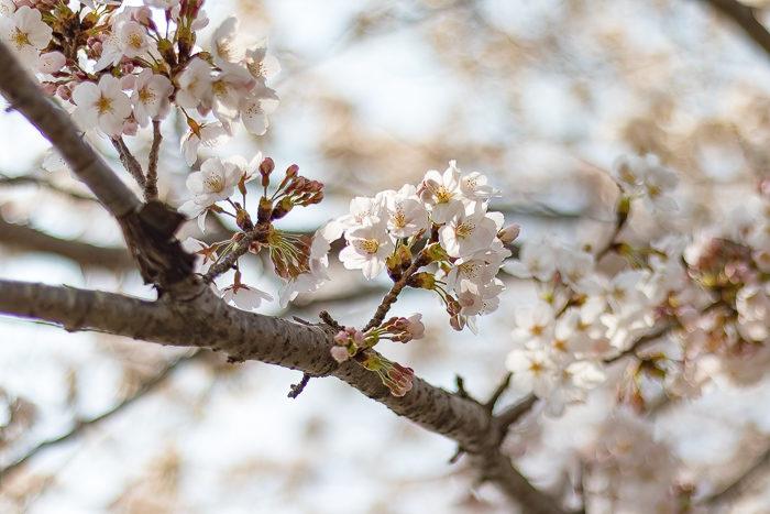 田代運動脇の河川敷で花見デイキャンプした時の桜