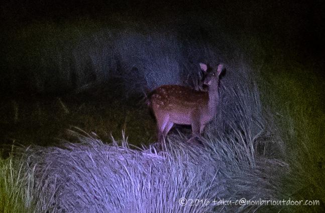 菅沼の夜に鹿と遭遇