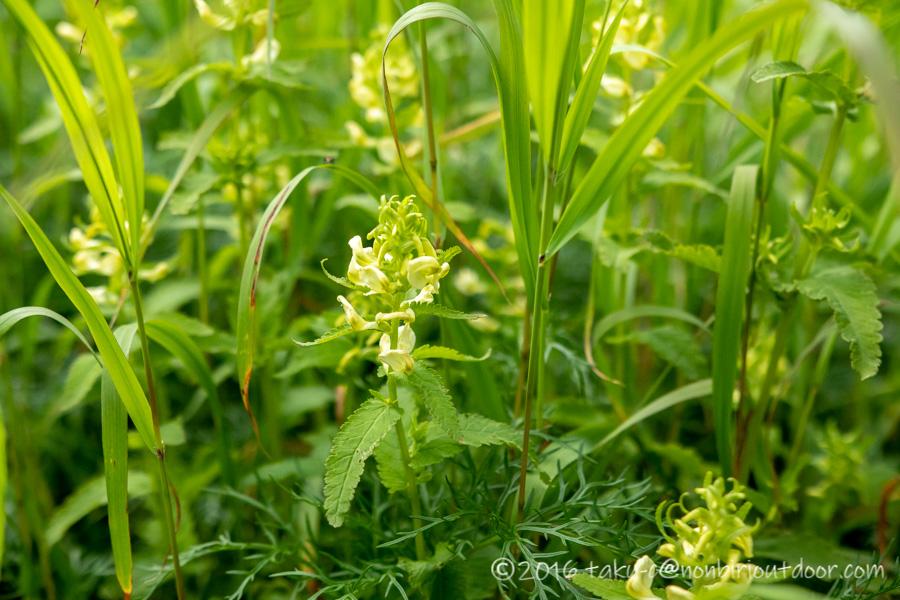 8月の夏に千畳敷カールで見た高山植物のエゾシオガマ?