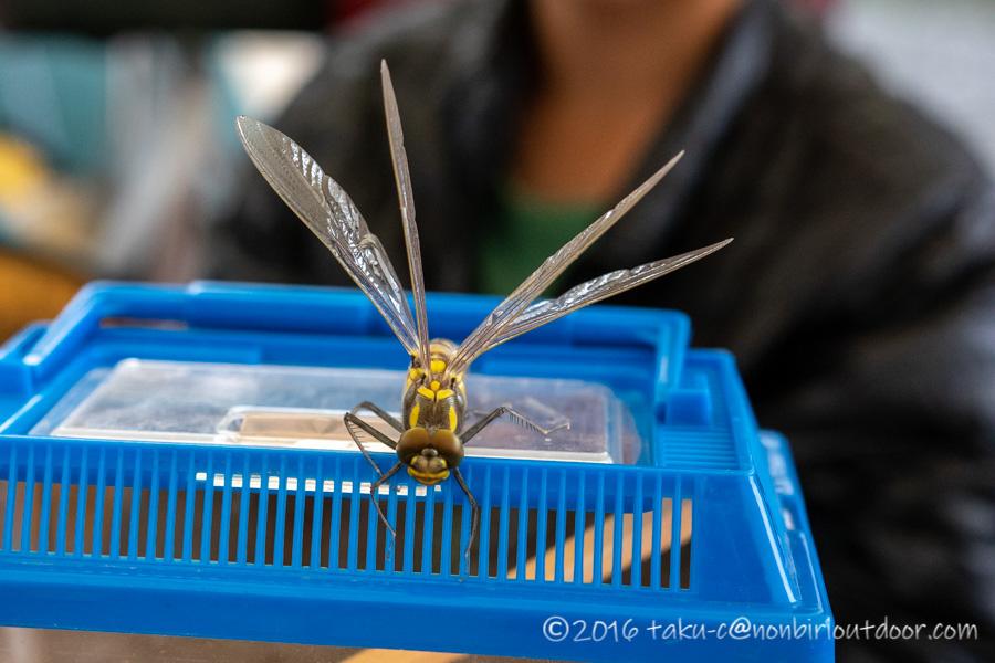 西湖・湖畔キャンプ場でトンボが蛹から成虫へ