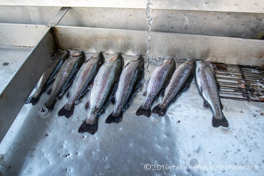 初の管理釣り場、FF中津川で8匹のマスを釣りあげました。
