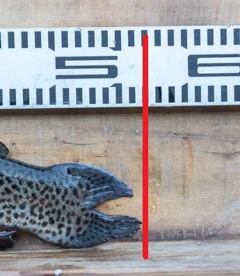 2021年2月24日のうらたんざわ渓流釣り場にてルアーで釣れたニジマスが51cm