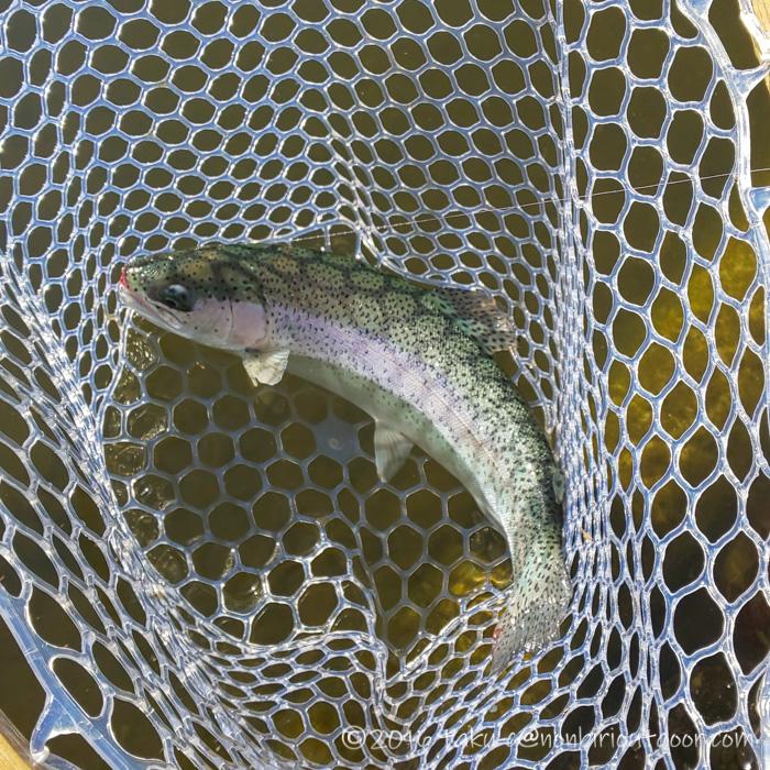 2021年2月3日の冬のFish on 王禅寺のジロー池で釣れたニジマス