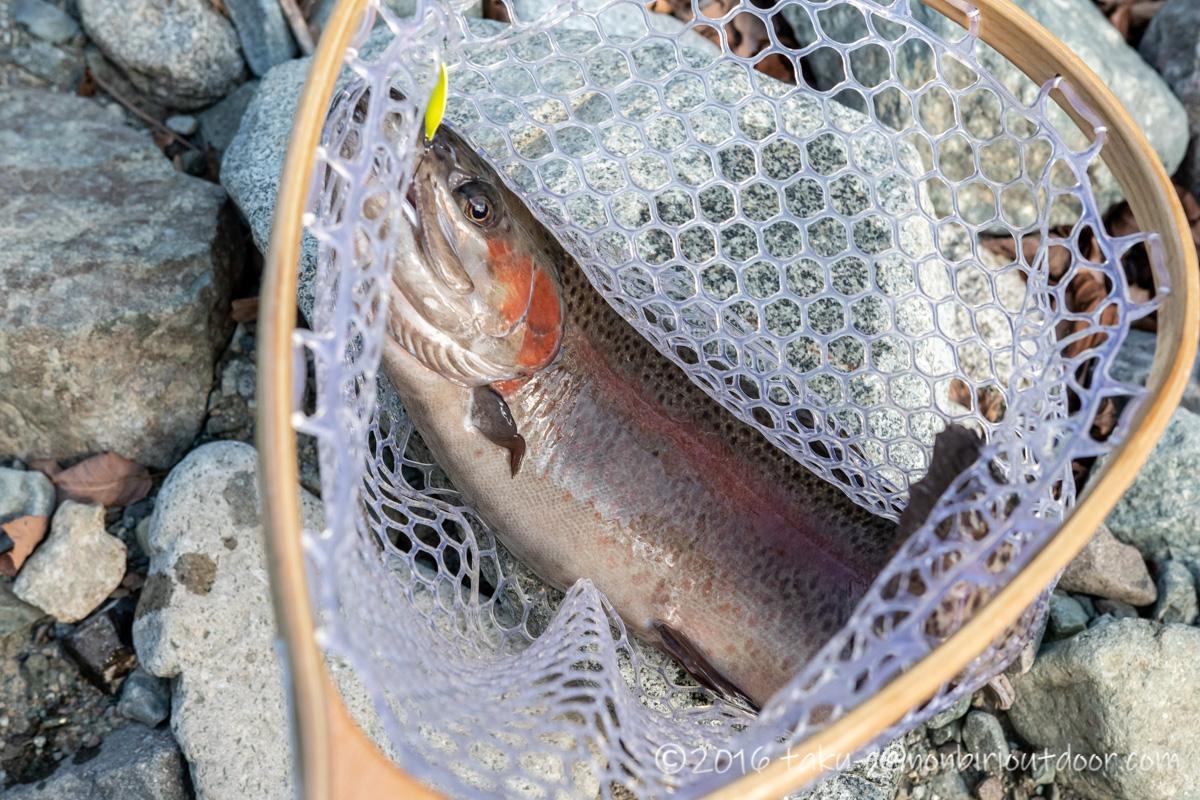 うらたんざわ渓流釣り場でハイバーストのスプーンで釣れたドナー49cm