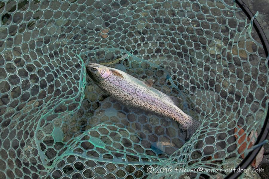 2021年4月28日のリヴァスポット早戸にて鱒の小枝で釣れたニジマス