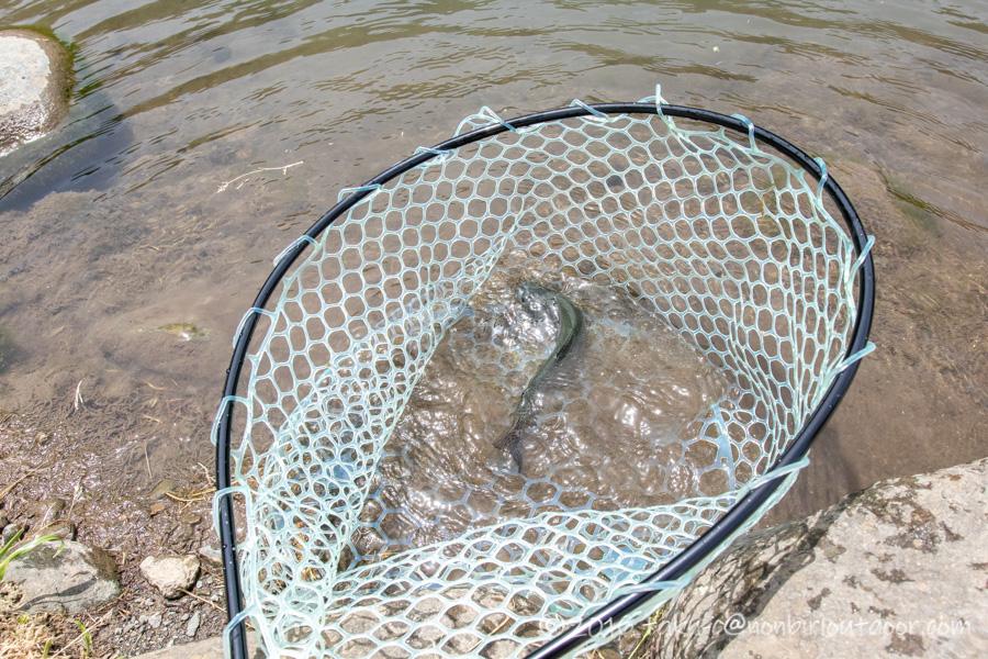 2021年05月04日のFF中津川にてクランクで釣れたニジマス